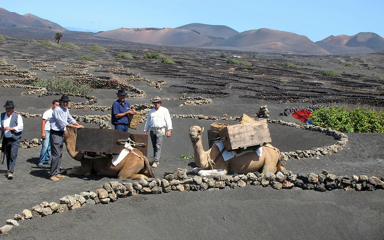 Grape harvest begins in Lanzarote with the picking of volcanic Malvasia